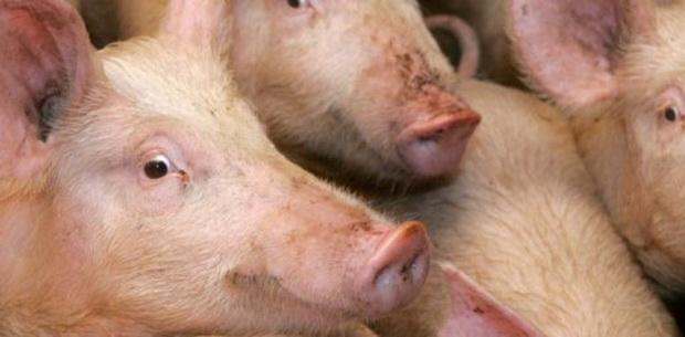 Китай является крупнейшим производителем свинины в мире. Поголовье свиней в стране насчитывает около 500 млн голов.