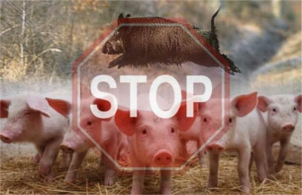 Первая в истории вспышка африканской чумы свиней отмечена в Китае