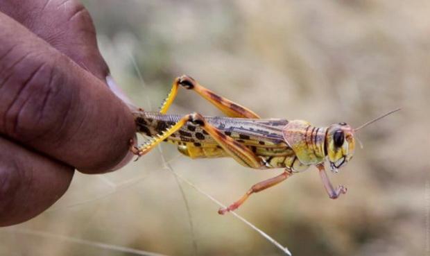 С арабского полуострова рои саранчи затем легко перелетели в Восточную Африку благодаря безветренной погоде.