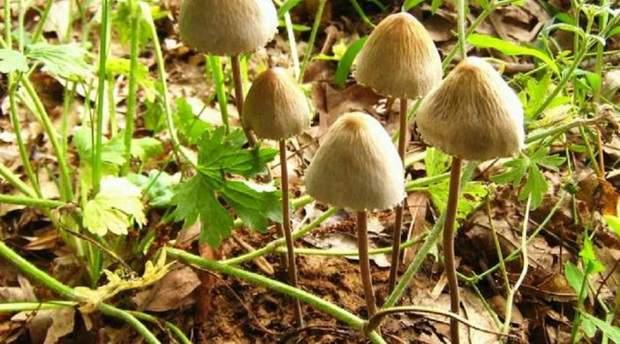 Власти штата уже предпринимали попытку контролировать употребление грибов в 1970-е.