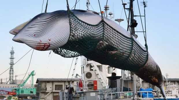 Япония впервые за 30 лет возобновит коммерческий промысел китов